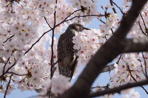 Dsc_0672hiyodori